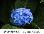 beautiful blue hydrangea flower | Shutterstock . vector #1240143103