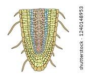 biological botanical scheme of...   Shutterstock .eps vector #1240148953