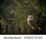 Stock photo barn owl tyto alba sitting on a wooden fence forest in background barn owl portrait owl 1240171510