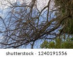 entanglement of branches with... | Shutterstock . vector #1240191556