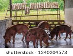 breeder red pigs on a farm in... | Shutterstock . vector #1240204573