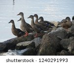 Ducks Gathered On The Riverbank.