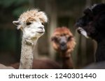white alpaca talking with brown ... | Shutterstock . vector #1240301440
