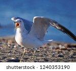 Seagull Screaming Having His...