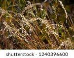 avena fatua a common wild oats... | Shutterstock . vector #1240396600