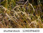 avena fatua a common wild oats... | Shutterstock . vector #1240396603