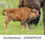profile of baby bison looking... | Shutterstock . vector #1240399129