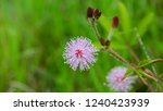mimosa pudica flower of shy... | Shutterstock . vector #1240423939