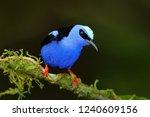 red legged honeycreeper ... | Shutterstock . vector #1240609156