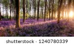 Bluebell forest alive at sunrise with sunlight and tree shadows covering the beautiful purple woodland flowers. extensive English bluebells in full bloom undercover of the tree canopy. - stock photo