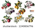 fruit trees branches  ... | Shutterstock .eps vector #1240836796