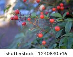 Red Small Berries And Leaves On ...
