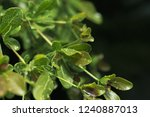 close up of green leaf with... | Shutterstock . vector #1240887013