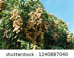 longan orchards   tropical... | Shutterstock . vector #1240887040
