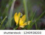 yellow crocus macro shot | Shutterstock . vector #1240928203