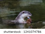smooth coated otter  lutrogale... | Shutterstock . vector #1241074786