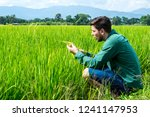 squatting man analyse wheat on... | Shutterstock . vector #1241147953