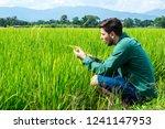 squatting man analyse wheat on... | Shutterstock . vector #1241147953