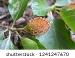 closeup photograph of an unripe ... | Shutterstock . vector #1241247670