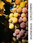 grapes in a vineyard | Shutterstock . vector #1241255890