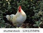 rooster in a field | Shutterstock . vector #1241255896