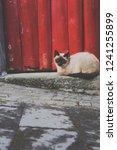 siamese cat lying outside in... | Shutterstock . vector #1241255899
