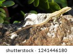 lizard basking in the morning... | Shutterstock . vector #1241446180