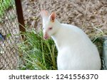 white wallaby at park | Shutterstock . vector #1241556370
