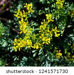 yellow flower seeds of ruta... | Shutterstock . vector #1241571730