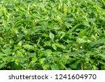 small cocoa tree on the farm...   Shutterstock . vector #1241604970