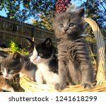 Stock photo curious kittens in a basket 1241618299