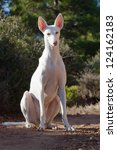 Stock photo white hound dog 124162183