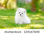 Stock photo young puppy spitz loks at the camera 124167640