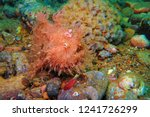hairy frogfish  antennarius... | Shutterstock . vector #1241726299