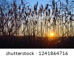 high reeds against the...   Shutterstock . vector #1241864716