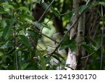 a songbird with brown crown  ... | Shutterstock . vector #1241930170