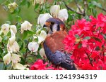 american kestrel sitting in the ... | Shutterstock . vector #1241934319