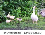 Domestic White Geese Walk Alon...