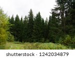 autumn larch grove forest road... | Shutterstock . vector #1242034879