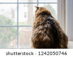 Stock photo behind back closeup of large overweight fat female maine coon calico cat sitting inside indoors 1242050746
