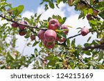 fresh apples growing on a tree... | Shutterstock . vector #124215169