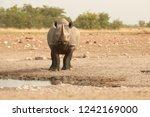 wild black rhinoceros  diceros... | Shutterstock . vector #1242169000