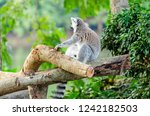 lemur catta in the natural zoo | Shutterstock . vector #1242182503