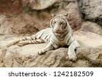 white bengal tiger resting on... | Shutterstock . vector #1242182509