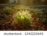early spring snowdrops ... | Shutterstock . vector #1242222643