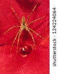 Small photo of Grass Spider (Agelenopsis potteri) on a red Impatiens