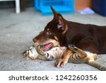 Stock photo dog and cat playing together outdoor 1242260356