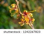 hamamelis or witch hazel in...   Shutterstock . vector #1242267823