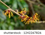 hamamelis or witch hazel in...   Shutterstock . vector #1242267826