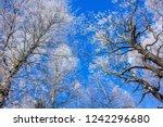 frozen tree branches. white... | Shutterstock . vector #1242296680